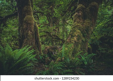Ferns and mosses grow on the forest floor beneath Broadleaf Maple trees on the Hall of Mosses trail of the Hoh Rainforest, part of Olympic National Park in western Washington State, United States.