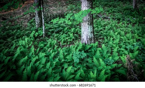 Ferns in a New England forest