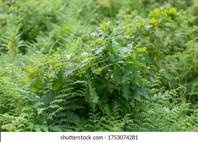 Ferns and oak are a widely mentioned plant in folklore, often mentioned in connection with the summer solstice. Oak branches and ferns are used in the production of various bouquets.