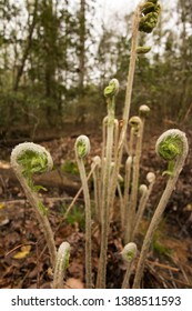 Ferns on a forest floor.  St. Mary's River State Park, Leonardtown, MD, USA.