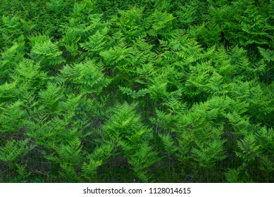 Ferns plants in the forest