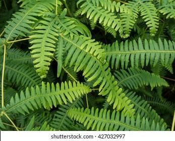 Ferns in the Rainforest of American Samoa