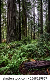 Ferns and Redwoods Growing in pacific northwest forest