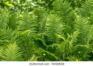 Ferns in summer