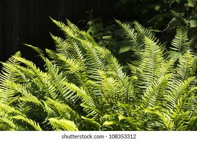 Ferns in sunshine