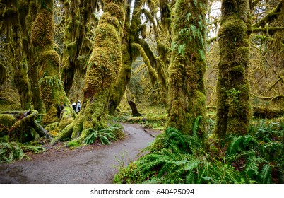 Ferns, Trail, and Forest at Hoh Rainforest in Olympic National Park