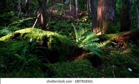 Ferns under sunlight at ancient forest with old and big trees and green moss in the morning