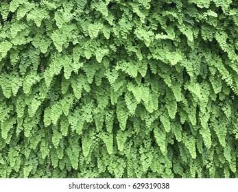 Ferns wall