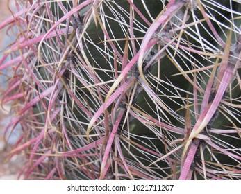 Ferocactus cylindraceus, also known as California Barrel Cactus, Miner's Compass, or Desert Barrel Cactus