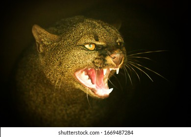 ferocious attitude of an puma yagouaroundi jaguarundi head closeup panther wildlife animal hunter angry family ecuador ferocious puma rare species cat dangerous large predator strong stand lion big ri