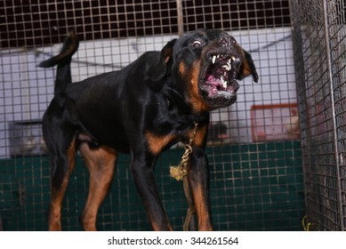 Angry Rottweiler Images Stock Photos Vectors Shutterstock