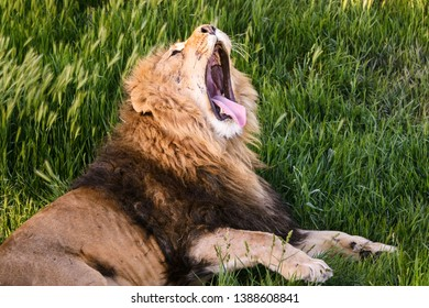 Ferocious lion relaxes in the wildlife. Old lion lies and yawns on the grass. African lion in safari park close-up.