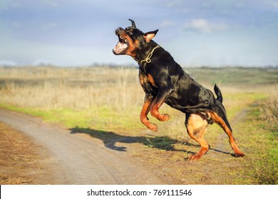 Ferocious Rottweiler barking  standing on hind legs. Angry dog.