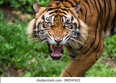 Ferocious Sumatran Tigers