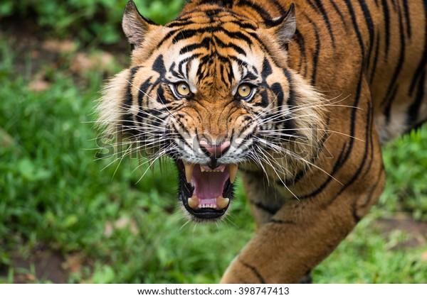 Les féroces Tigres de Sumatra
