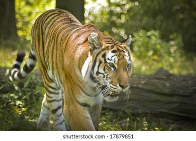 A ferocious tiger on the prowl in a natural setting.
