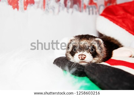 Christmas Ferret.Ferret Christmas Time Stock Photo Edit Now 1258603216