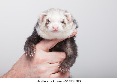 Polecat Images Stock Photos Amp Vectors Shutterstock