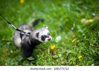 Black Ferret Images, Stock Photos & Vectors | Shutterstock