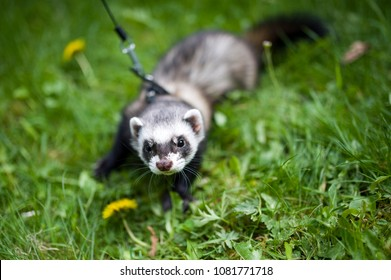 Black Footed Ferret Images, Stock Photos & Vectors | Shutterstock