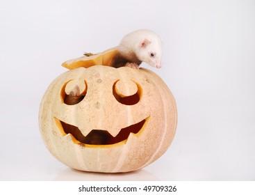 Ferret looks out of a halloween pumpkin