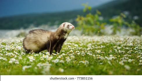 Ferret outdoor portrait in field of flowers