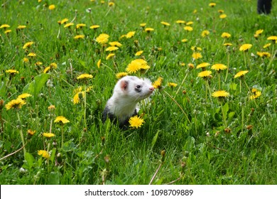Ferret playing in the dandelions