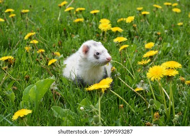 Ferret playing in the dandelions on a sunny summer's day