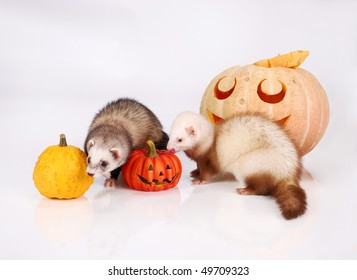 Ferret and pumpkin