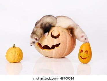 Ferret smells halloween pumpkin
