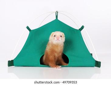 Ferret in tent