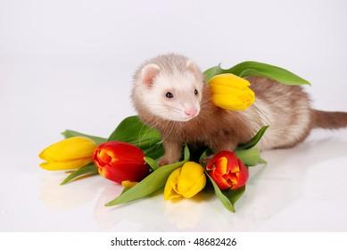 Ferret and tulip flower