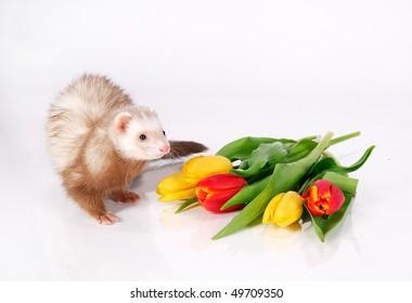 Ferret and tulip flowers