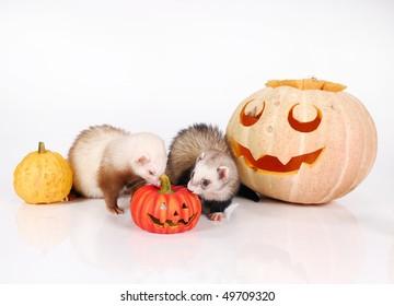 Ferrets and Halloween pumpkin