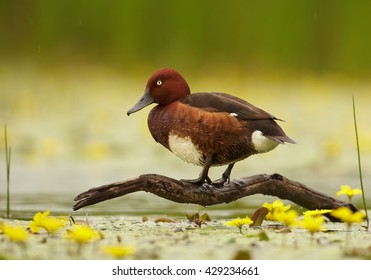 Ferruginous Duck, Aythya nyroca, isolated colorful duck, male in mating plumage, standing on old root above the water covered by yellow flowers, against blurred green reeds in background. Springtime.