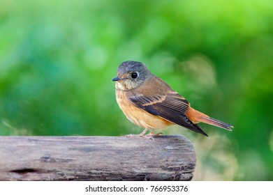 The ferruginous flycatcher (Muscicapa ferruginea) is a species of bird in the family Muscicapidae.Immigrants fly to Bangkok