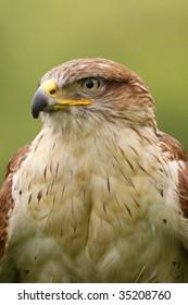 Ferruginous hawk (butea regalis)
