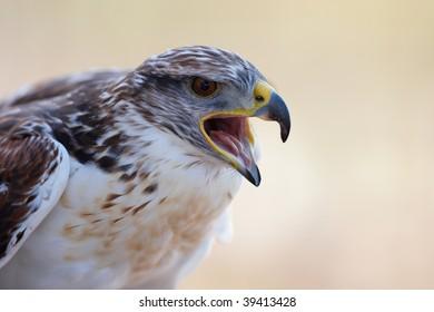 Ferruginous Hawk, Buteo regalis