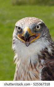 Ferruginous Hawk (Buteo regalis) portrait