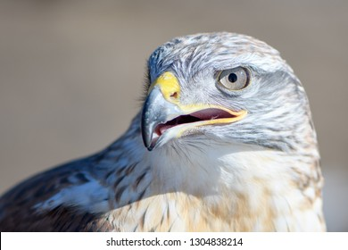Ferruginous Hawk, light morph, Captive, Nature's Educators, Human imprint