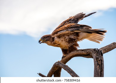 A Ferruginous Hawk perched