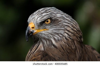 Ferruginous Hawk - Portrait