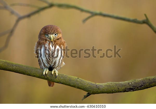 Ferruginous pygmy owl (Glaucidium brasilianum) is a small owl that breeds in south-central Arizona in the United States, south through Mexico and Central America, to South America