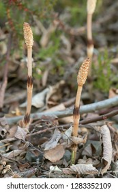Fertile field horsetail