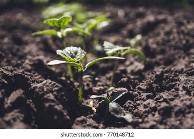 Fertile soil and sprouted vegetable sprouts. Growing of organic food products