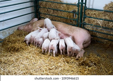 Fertile sow lying on hay and piglets suckling in barn