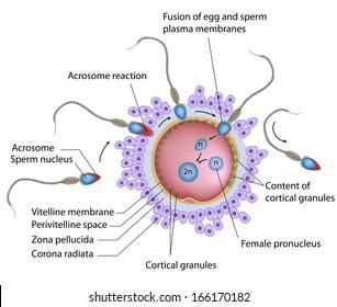 Fertilization penetration sperm cell egg stock illustration fertilization labeled ccuart Choice Image