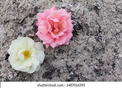 Fertilizer and growth concept - Pink and white roses on a background of ash