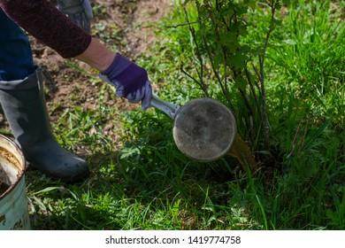 Fertilizing bushes with liquid manure