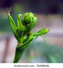 Ferula communis of giant fennel/Ferula